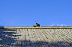 Katter på taket Fotografering för Bildbyråer