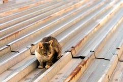 Katter på ett varmt tenn- tak Fotografering för Bildbyråer