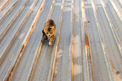 Katter på ett varmt tenn- tak Arkivfoto