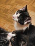 katter parar tvilling- Royaltyfria Foton