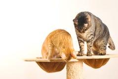 katter play tillsammans två Royaltyfri Bild