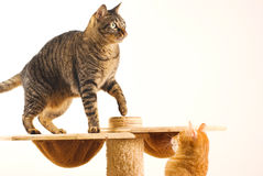 katter play tillsammans två Royaltyfria Bilder