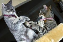 katter som leker två Arkivfoto