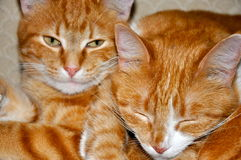 Katter som tillsammans vilar Royaltyfri Foto
