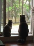 katter som ut ser fönstret arkivbild