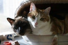 katter tillsammans Arkivbild