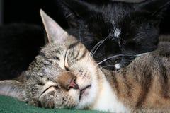 Katter Tom & Jake Snuggle III fotografering för bildbyråer