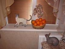 katter två Fotografering för Bildbyråer