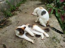 katter två Royaltyfria Bilder