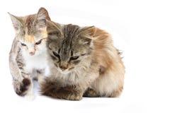 katter två Arkivfoto