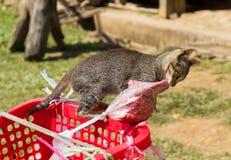 Kattförsök att stjäla kött Arkivbild