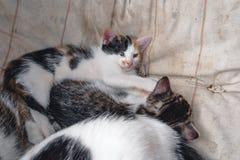 Kattfader- och moderkatt med kattungen, gatakatter royaltyfria foton