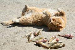 kattfisk Fotografering för Bildbyråer