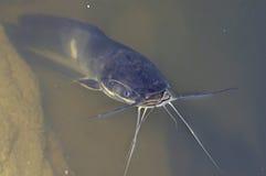 Kattfisk Royaltyfri Fotografi
