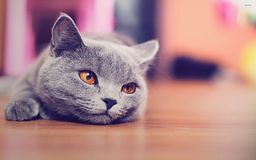 Kattfoto - brittisk shorthair royaltyfria foton