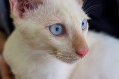 Kattframsida med blåa ögon Fotografering för Bildbyråer