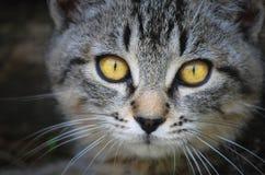 Kattframsida med gula ögon Arkivbilder