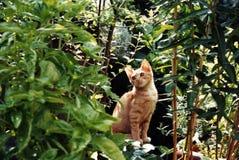 kattfred djungel Arkivbilder