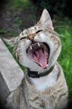 Kattgäspningar Arkivbild