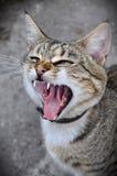 Kattgäspningar Royaltyfri Fotografi