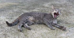 Kattgäspningar som ligger i gatan Royaltyfria Bilder