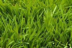 Kattgräs royaltyfri foto