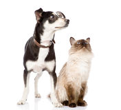 katthund som ser upp fokuserat på katten Isolerat på vita lodisar Royaltyfri Fotografi
