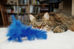 kattjakt Arkivbilder