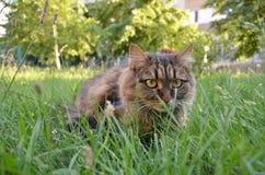 Kattjakt till och med gräs Royaltyfria Foton