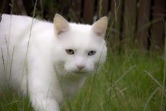kattjaktwhite Arkivbild