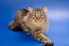 kattjordluckrare l5At ut siberianen Arkivfoto