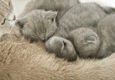kattkattungar mother litet Fotografering för Bildbyråer