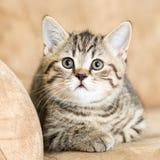 Kattkattunge som ligger på soffan arkivfoton