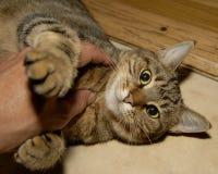 kattkattungeförälskelse Royaltyfri Fotografi