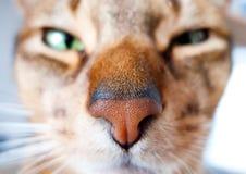 kattkonung Arkivfoto
