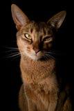 kattkonung Arkivbild