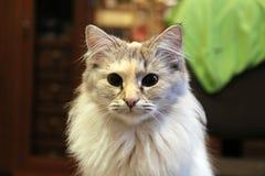 Kattkortkortlejon Royaltyfri Fotografi