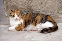 kattkvinnlig som vårdar den röda strayen Royaltyfri Fotografi