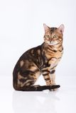 kattleopard Fotografering för Bildbyråer