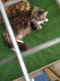 KattMaine-tvättbjörnen gillar fotografering för bildbyråer