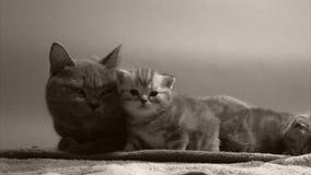Kattmoder och liten kattunge lager videofilmer