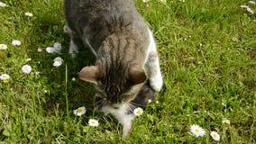 Kattmoder och liten kattunge på trädgårds- gräs stock video