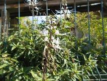 Kattmorrhårblomma eller Orthosiphon aristatus Arkivfoto