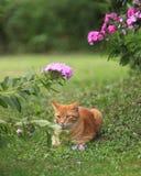 kattmorris Fotografering för Bildbyråer