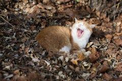 Kattmunnen öppnade vitt arkivfoto