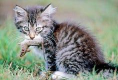 kattmus arkivbilder
