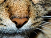 kattnäsa s Royaltyfria Bilder