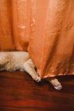 Kattnederlag bak en gardin Arkivfoton
