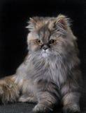 kattperser Royaltyfri Fotografi
