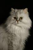 kattperser Royaltyfria Foton